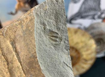 Ogyginus Trilobite (Wales, UK) #09