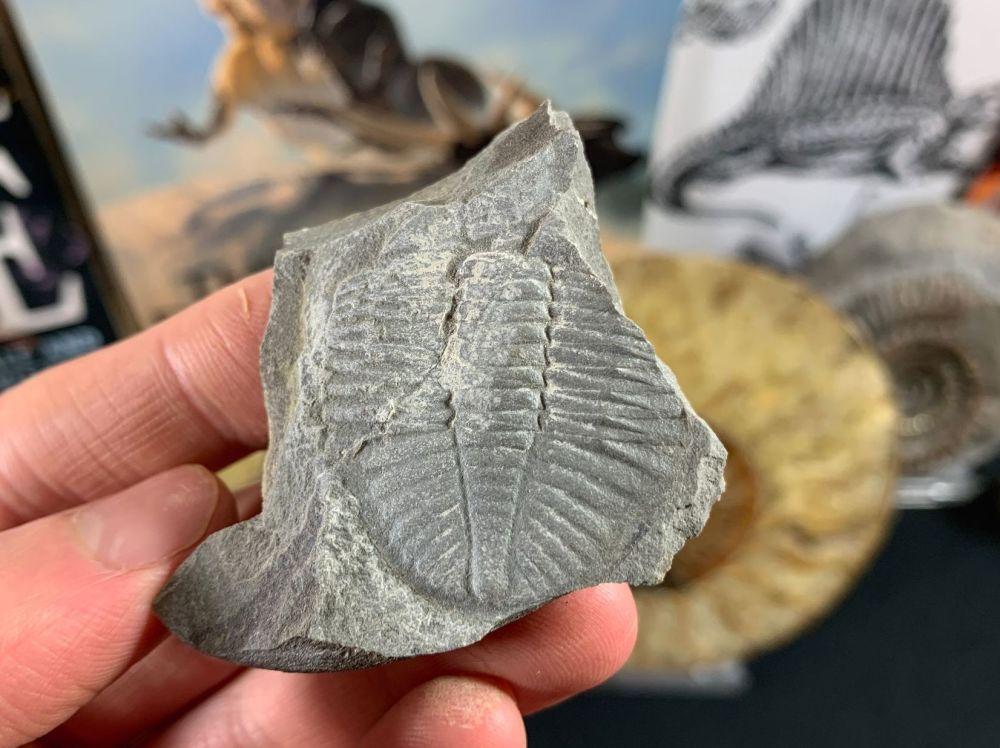 Ogyginus Trilobite (Wales, UK) #12