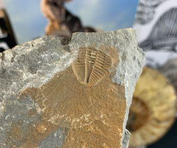 Ogyginus Trilobite (Wales, UK) #17