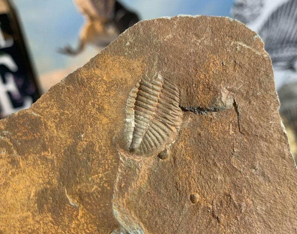 Ogyginus Trilobite (Wales, UK) #18