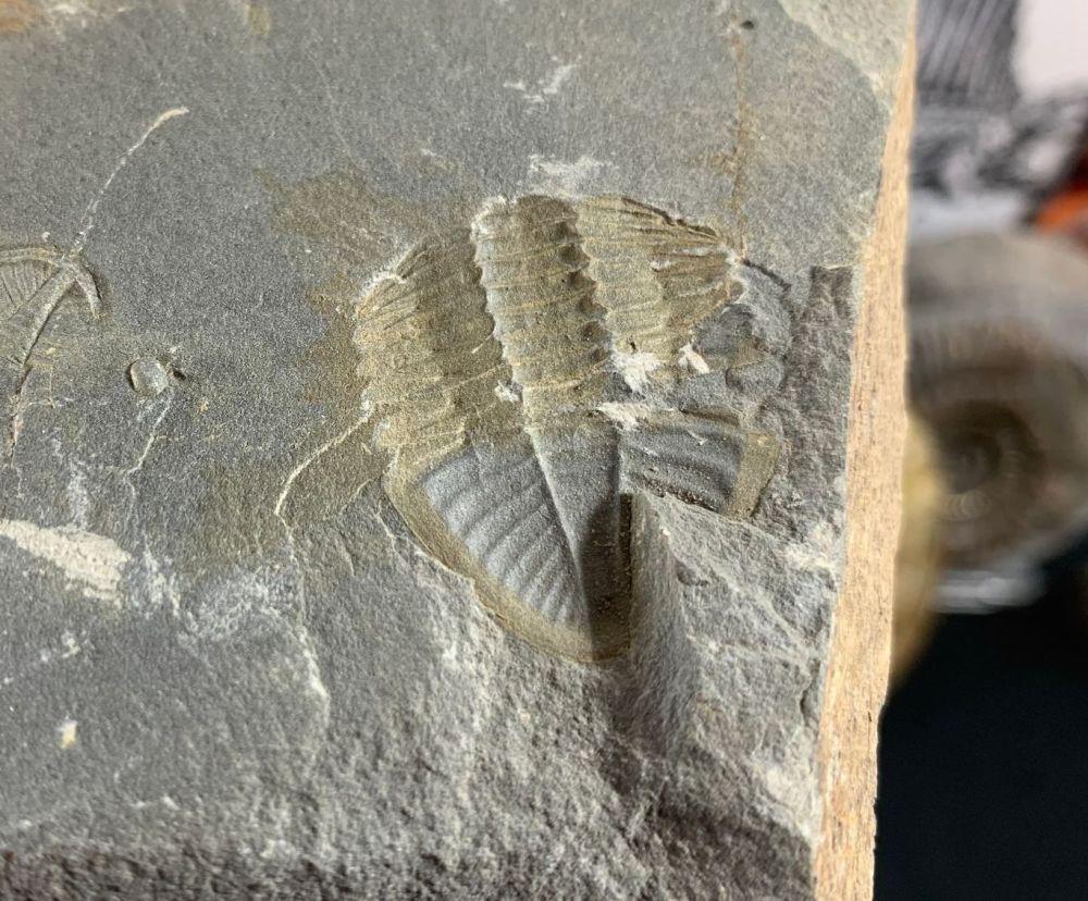 Ogyginus Trilobite (Wales, UK) #20