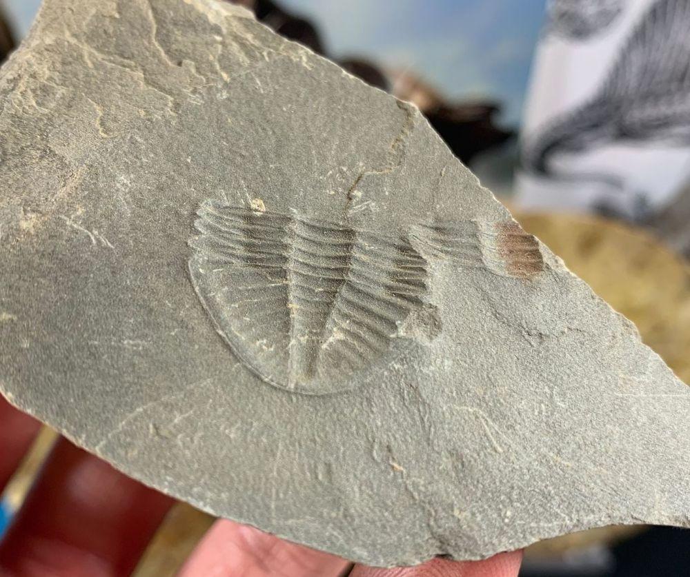 Ogyginus Trilobite (Wales, UK) #21