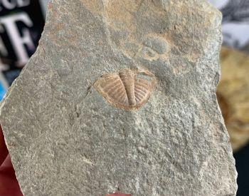 Ogyginus Trilobite (Wales, UK) #23