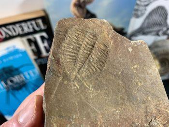 Ogyginus Trilobite (Wales, UK) #25