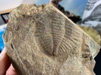Ogyginus Trilobite (Wales, UK) #27