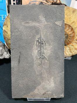 Keichousaurus hui, Marine Reptile #03