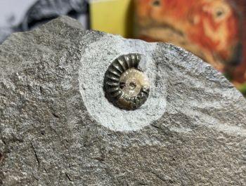 Promicroceras Ammonite, Lyme Regis #23