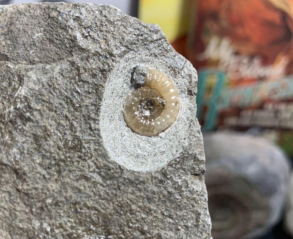 Promicroceras Ammonite, Lyme Regis #47