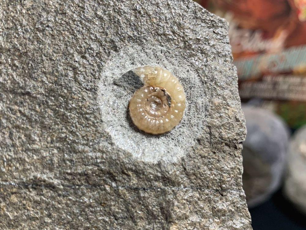 Promicroceras Ammonite, Lyme Regis #49