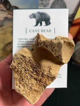 Cave Bear Vertebra #01