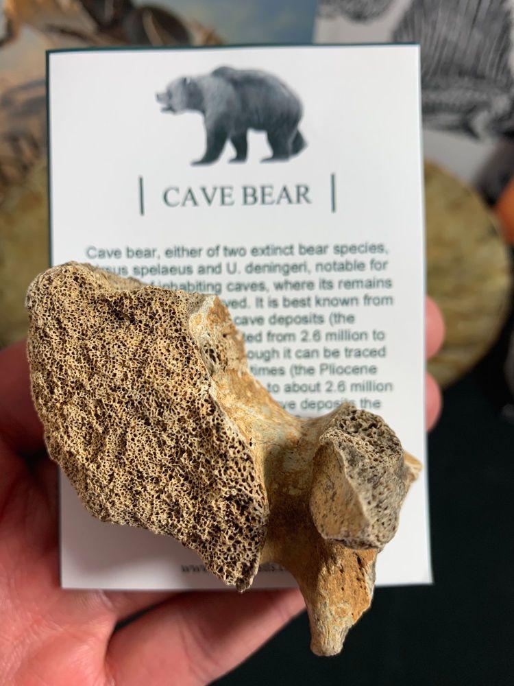 Cave Bear Vertebra #02