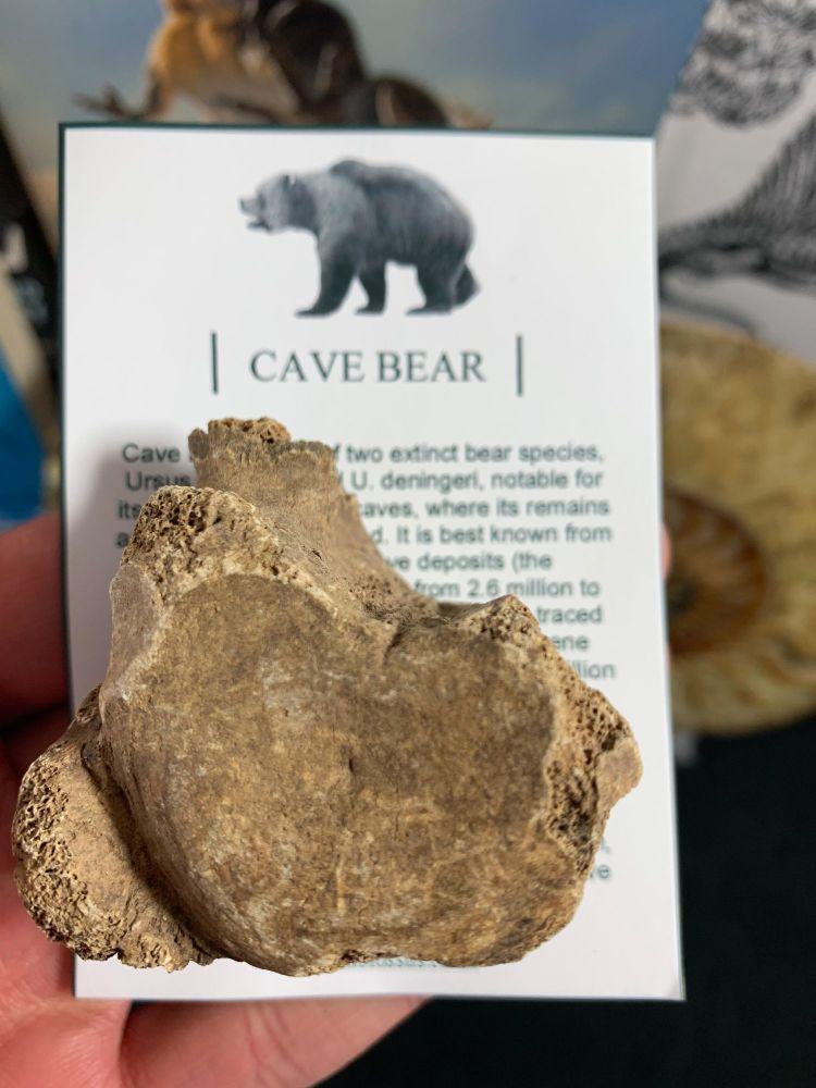 Cave Bear Vertebra #06