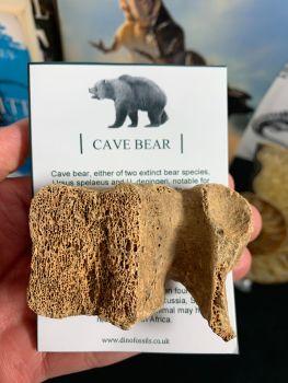 Cave Bear Vertebra #10