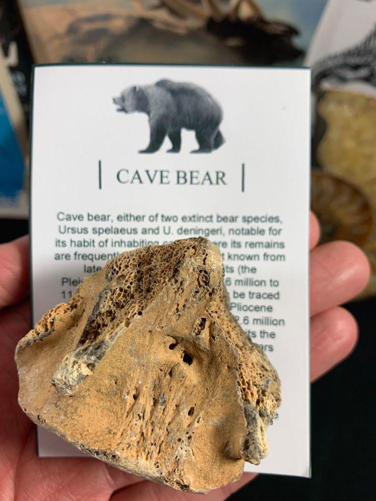 Cave Bear Vertebra #14