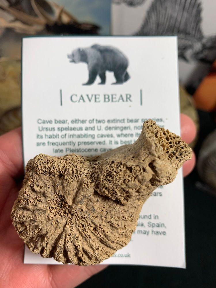 Cave Bear Vertebra #16