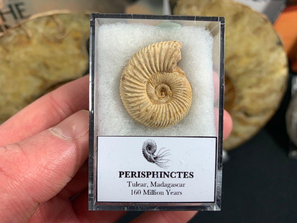 Perisphinctes Ammonite #02