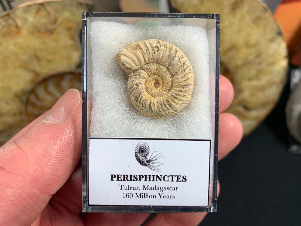 Perisphinctes Ammonite #06