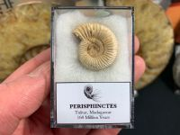 Perisphinctes Ammonite #07