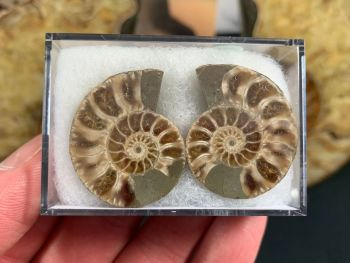 Cut & Polished Ammonite (pair) #01