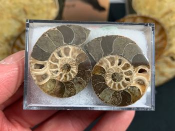 Cut & Polished Ammonite (pair) #05