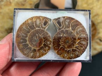 Cut & Polished Ammonite (pair) #08