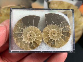 Cut & Polished Ammonite (pair) #10