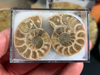 Cut & Polished Ammonite (pair) #12