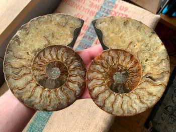Cut Ammonite, 16.4 cm