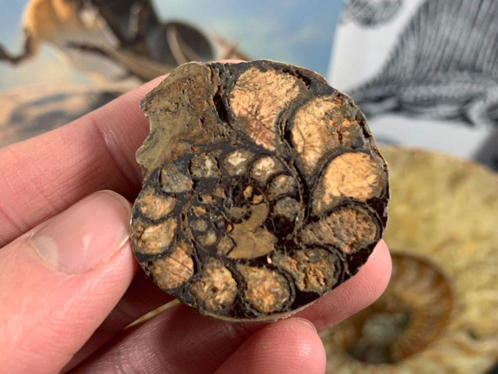 Cut & Polished Haematite Ammonite (half) #07