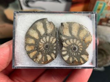 Cut & Polished Pyrite Ammonite (pair) #03