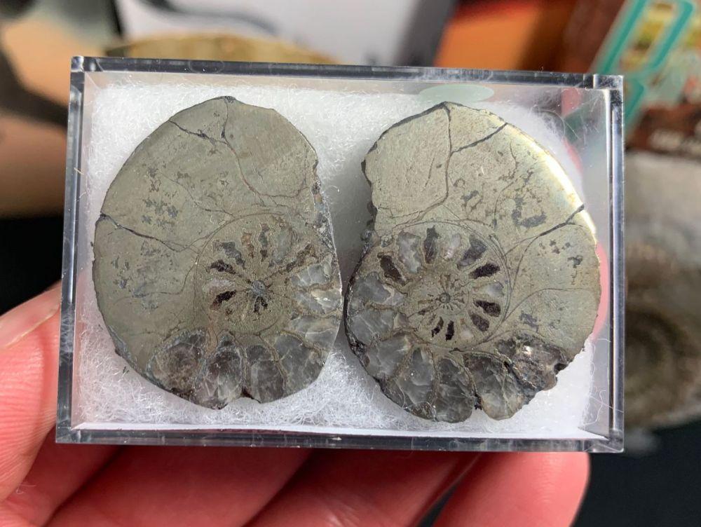 Cut & Polished Pyrite Ammonite (pair) #04