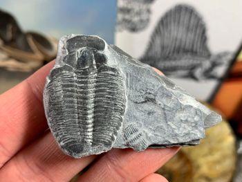 XL Elrathia kingi Trilobite #02