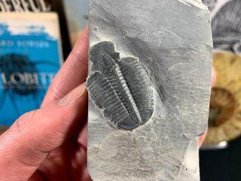 XL Elrathia kingi Trilobite #04