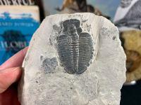 XL Elrathia kingi Trilobite #05