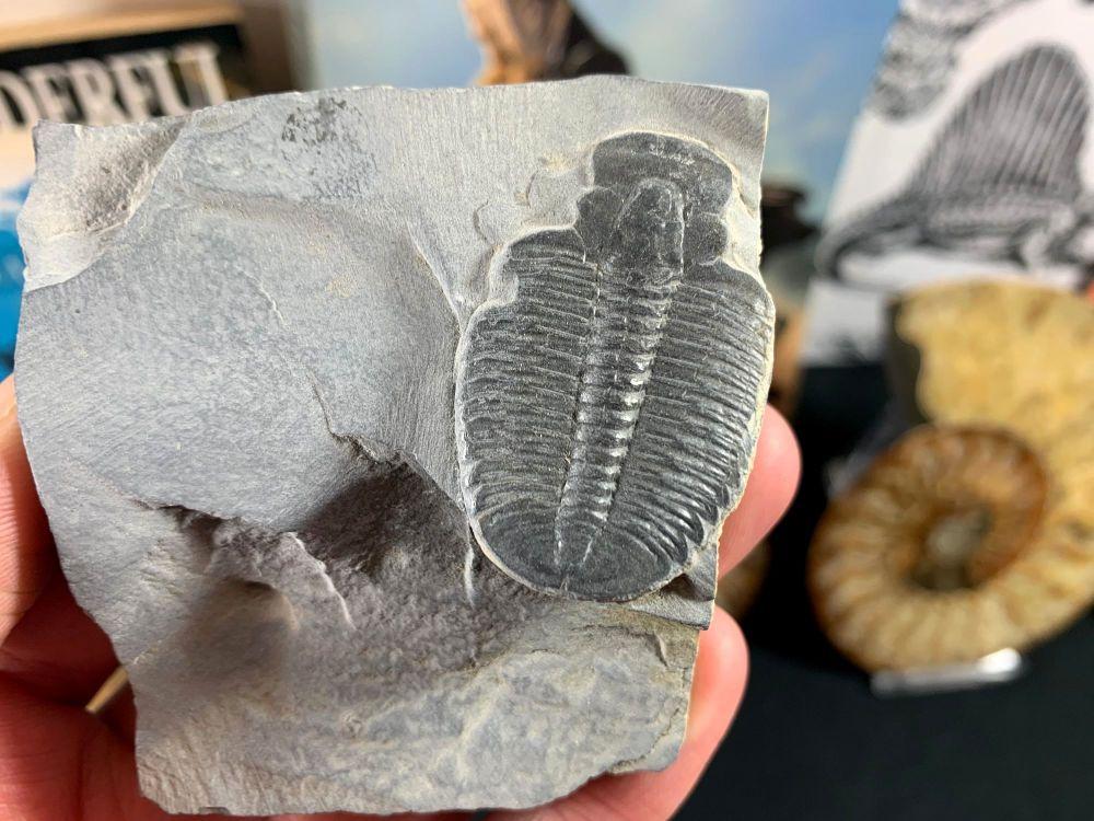 XL Elrathia kingi Trilobite #06