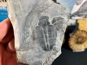 XL Elrathia kingi Trilobite #07
