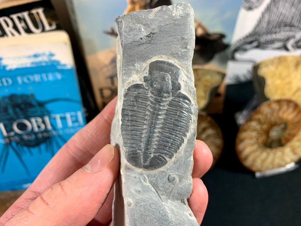 XL Elrathia kingi Trilobite #10