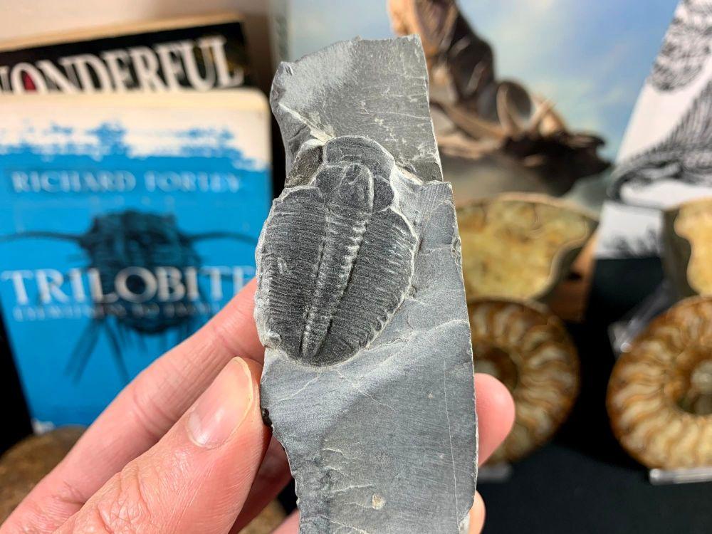 XL Elrathia kingi Trilobite #11