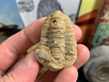 Flexicalymene Trilobite #03