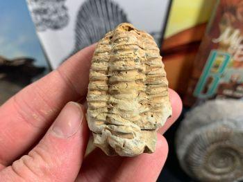 Flexicalymene Trilobite #04