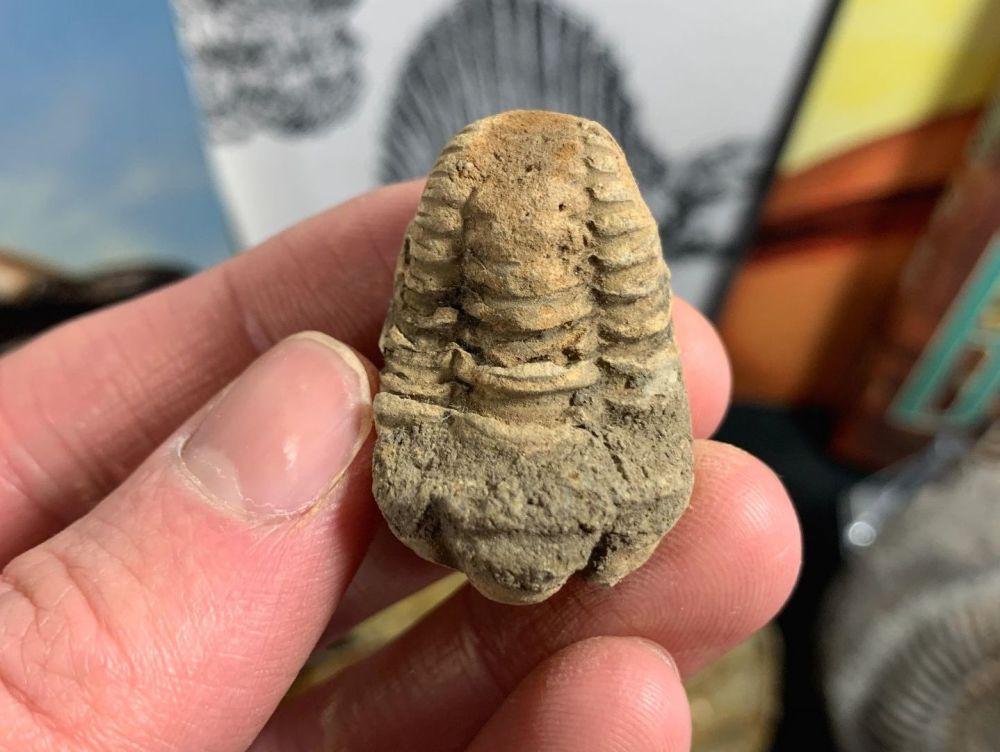 Flexicalymene Trilobite #07