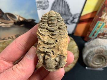 Flexicalymene Trilobite #08