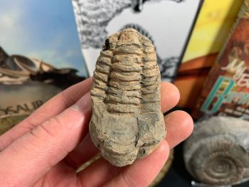 Flexicalymene Trilobite #14
