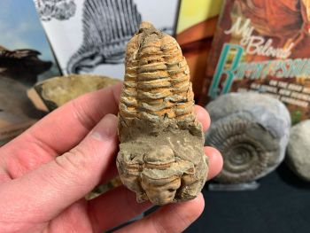 Flexicalymene Trilobite #16