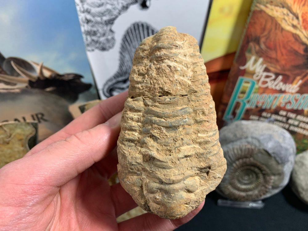 Flexicalymene Trilobite #23