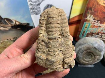 Flexicalymene Trilobite #24