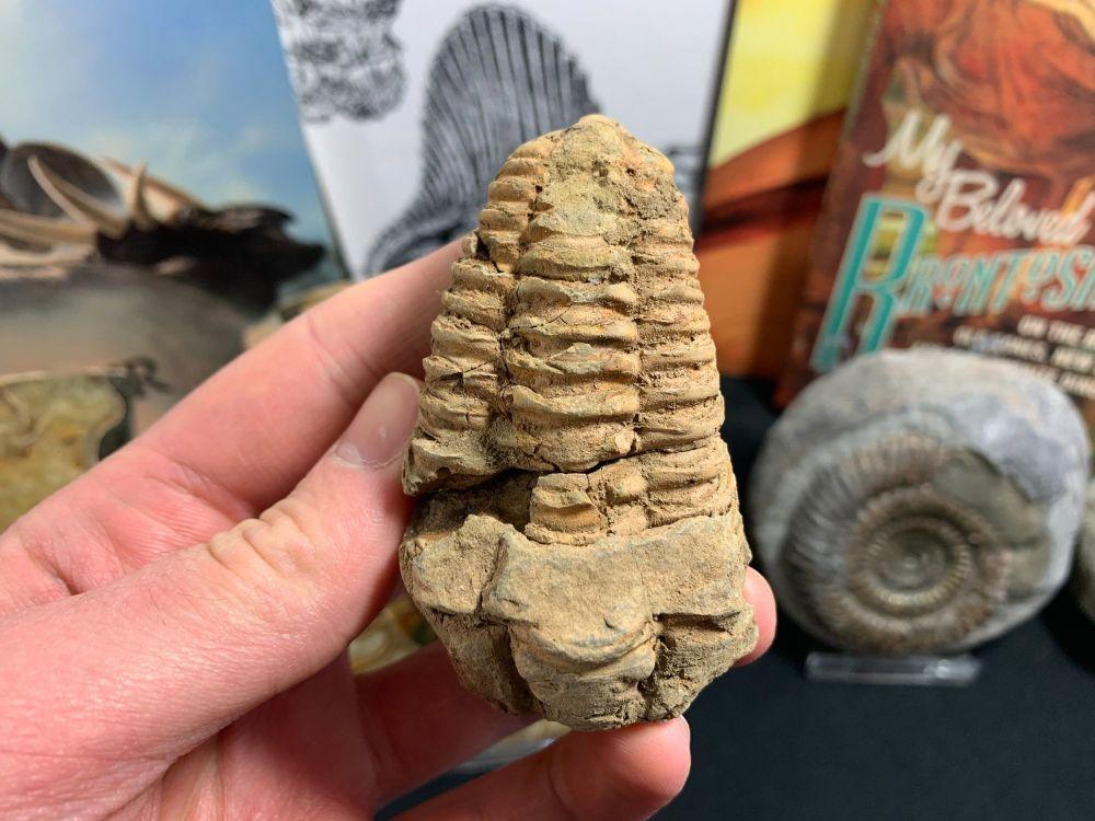 Flexicalymene Trilobite #25