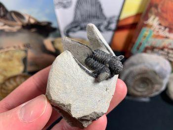 Otarion Trilobite #01
