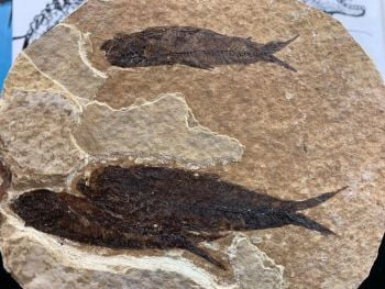 Fossil Fish, Green River Formation #06