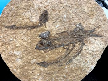 Fossil Fish, Green River Formation #12